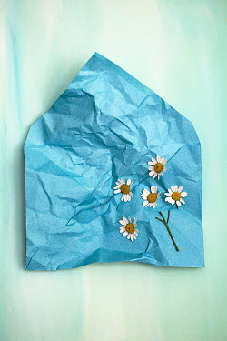 Alison Archinuk DAISIES AND STEM ON CRUMPLED TURQUOISE ENVELOPE Flowers