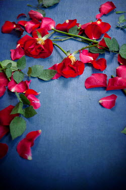 Miguel Sobreira SCATTERED RED ROSES AND PETALS ON BLUE FOOR Flowers