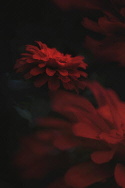 Lisa Bonowicz Close up of red flower