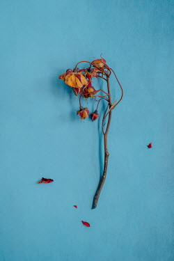 Magdalena Wasiczek Dried flowers on blue background