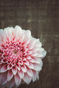 Susan O'Connor Pink chrysanthemum on wood