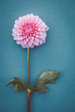 Susan O'Connor Pink chrysanthemum on blue background