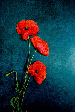 Jane Morley Poppies on blue background
