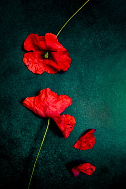 Jane Morley Poppies on green background