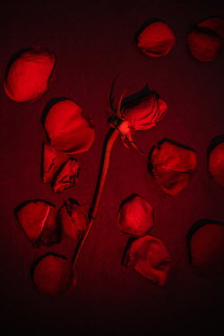 Magdalena Wasiczek RED ROSE AND PETALS ON FLOOR AT NIGHT Flowers
