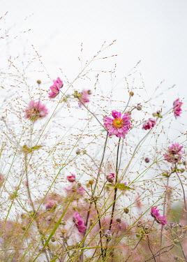 Magdalena Wasiczek PINK FLOWERS AND GRASSES OUTDOORS Flowers/Plants