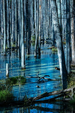 Magdalena Wasiczek FOREST WITH SILVERY TREES AND SWAMP Trees/Forest