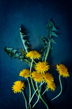 Magdalena Wasiczek dandelion flowers and leaves