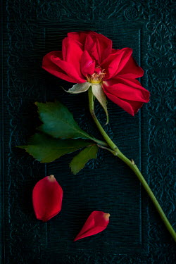 Magdalena Wasiczek Red rose on book from above