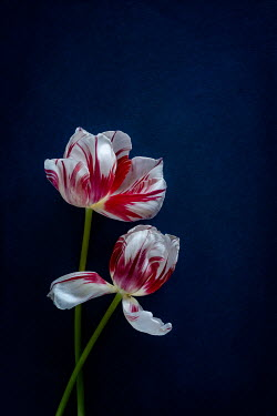 Magdalena Wasiczek close up of two red and white tulips