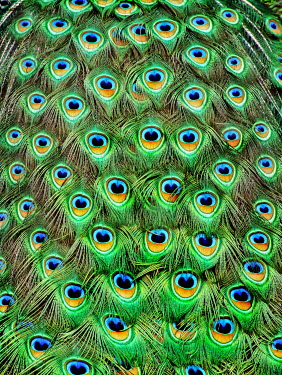 Adrian Leslie Campfield Full frame peacock feathers