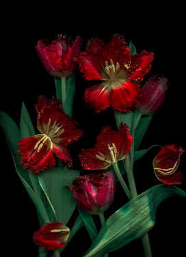 Magdalena Wasiczek RED TULIPS WITH FLOATING POLLEN Flowers