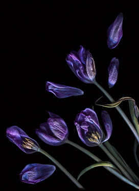 Magdalena Wasiczek PURPLE TULIPS IN SHADOW Flowers