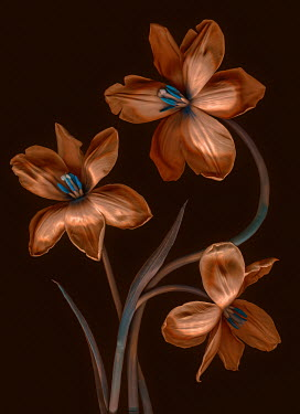 Magdalena Wasiczek THREE ORANGE TULIPS Flowers