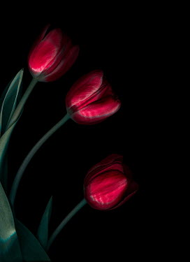 Magdalena Wasiczek THREE RED TULIPS IN SHADOW Flowers