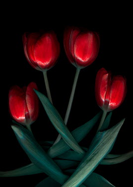 Magdalena Wasiczek FOUR RED TULIPS IN SHADOW Flowers