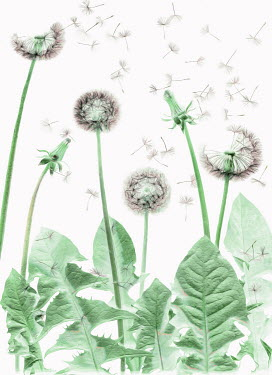 Magdalena Wasiczek DANDELION HEADS WITH FLOATING SEEDS Flowers/Plants