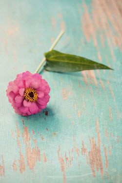 Susan Fox PINK FLOWER ON WOODEN TURQUOISE TABLE Flowers