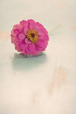 Susan Fox PINK FLOWER ON WOODEN TABLE Flowers