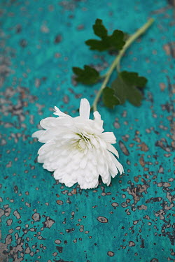 Alison Archinuk White chrysanthemum flower on worn wooden table