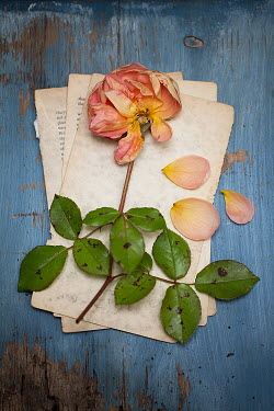 Alison Archinuk Wilted rose and petals torn book pages