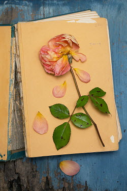 Alison Archinuk Wilted rose and petals on broken book