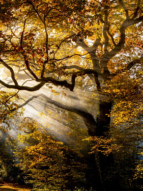 Trevor Payne TREE AND BRANCHES WITH GOLDEN LEAVES IN SUNLIGHT Trees/Forest