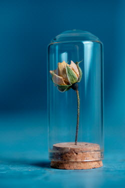 Magdalena Wasiczek DRIED YELLOW ROSE UNDER GLASS DOME Flowers