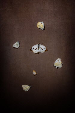 Magdalena Wasiczek GROUP OF SMALL DEAD BUTTERFLIES Insects