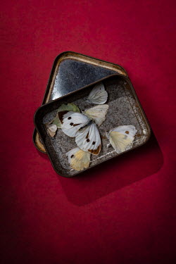 Magdalena Wasiczek DEAD BUTTERFLIES IN SMALL METAL TIN Insects