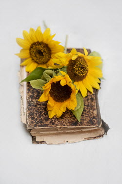 Magdalena Wasiczek THREE SUNFLOWERS LYING ON OLD BOOK Flowers