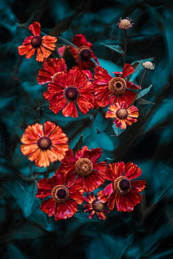 Magdalena Wasiczek RED FLOWERS WITH LEAVES OUTDOORS Flowers/Plants