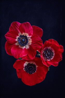 Magdalena Wasiczek THREE RED POPPIES FROM ABOVE Flowers