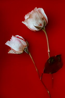 Magdalena Wasiczek TWO WHITE ROSES FLOATING IN RED WATER Flowers