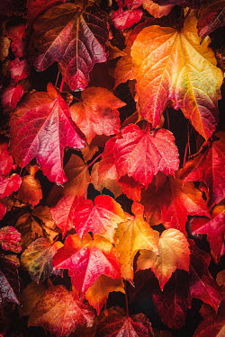 Evelina Kremsdorf LEAVES OF RED AND YELLOW CREEPER IN AUTUMN Flowers/Plants