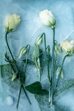 Magdalena Wasiczek WHITE FLOWERS FROZEN IN ICE Flowers/Plants
