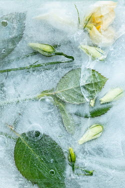 Magdalena Wasiczek YELLOW AND WHITE FLOWERS FROZEN IN ICE Flowers/Plants