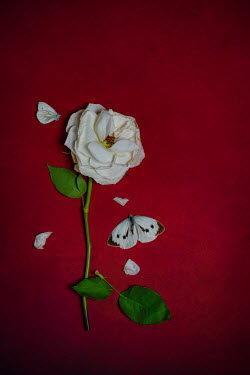 Magdalena Wasiczek WHITE ROSE AND BUTTERFLY ON RED BACKGROUND Insects