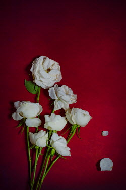 Magdalena Wasiczek WHITE ROSES ON RED BACKGROUND Flowers