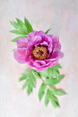 Magdalena Wasiczek PINK PEONY AND LEAVES Flowers