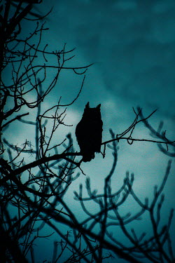 Elisabeth Ansley SILHOUETTED OWL SITTING ON BRANCH AT DUSK Birds