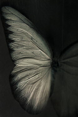 Lisa Bonowicz WHITE BUTTERFLY IN SHADOW Insects