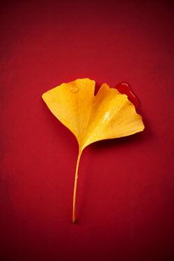 Miguel Sobreira Wet ginkgo leaf on red background