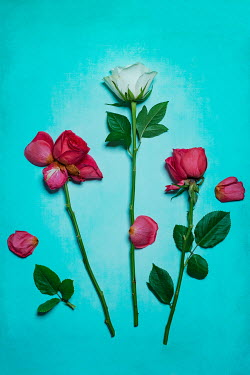 Magdalena Wasiczek Roses on blue background