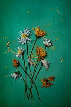 Magdalena Wasiczek Daisies on green background
