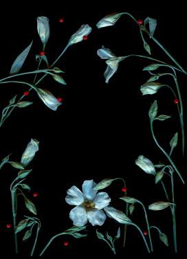 Magdalena Wasiczek White flowers on black background