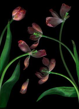 Magdalena Wasiczek Pink tulips on black background