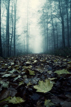 Carmen Spitznagel AUTUMN LEAVES ON PATH IN FOGGY FOREST Paths/Tracks