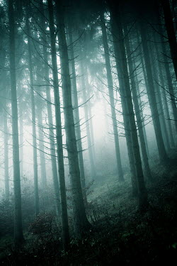 Carmen Spitznagel TREES ON SLOPE IN FOGGY FOREST Trees/Forest
