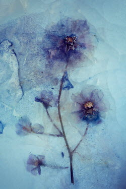 Carmen Spitznagel PURPLE FLOWER FROZEN IN ICE Flowers